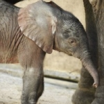 It's a Girl! Baby Elephant Born at Disney's Animal Kingdom Park.