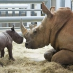 Disney&#8217;s Animal Kingdom Welcomes New Baby Rhino