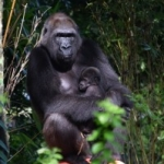 Disney's Animal Kingdom Welcomes Two Baby Gorillas in Past Month