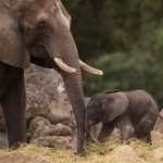 Disney's Animal Kingdom Welcomes Elephant Calf
