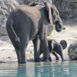 Baby Elephant at Disney's Animal Kingdom is Being Introduced to the Savannah