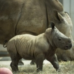 Guests Can Vote to Name New Baby Rhino at Disney's Animal Kingdom